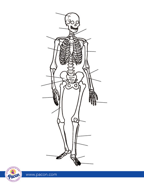 human skeleton free download template